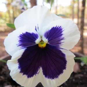 Pansies add a lot of winter color even though they are only around for a season.