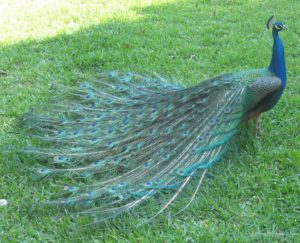 The Creator of the peacock, created us to be creative too.